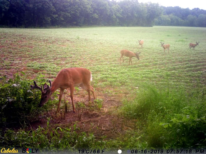 5 bucks in the field feeding on Buck Bourbon